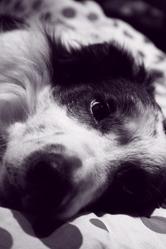 Ska, chien Border Collie