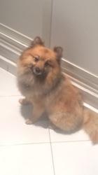 Skampy, chien Spitz allemand