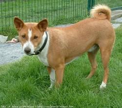 Skar, chien Basenji