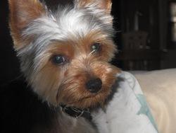 Skip, chien Silky Terrier