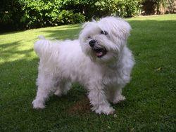 Skipi, chien Bichon maltais