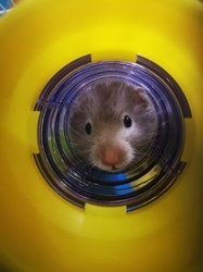 Skippie, rongeur Hamster