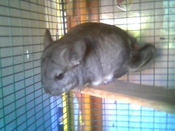 Skippy, rongeur Chinchilla