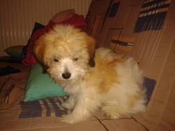 Skippy, chien Coton de Tuléar