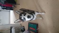 Skipy, chien Husky sibérien