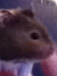 Skittles, rongeur Hamster