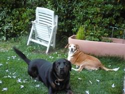 Skitty, chien Labrador Retriever