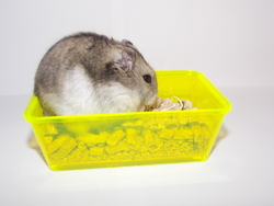 Skully, rongeur Hamster