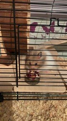 Sky, rongeur Hamster