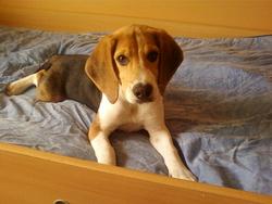 Sky, chien Beagle