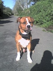 Sky, chien American Staffordshire Terrier