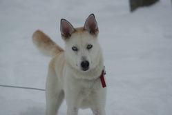 Sky, chien Husky sibérien