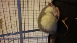 Sky, rongeur Rat