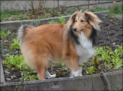 Skye, chien Berger des Shetland
