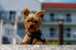 Spyke, chiot Yorkshire Terrier