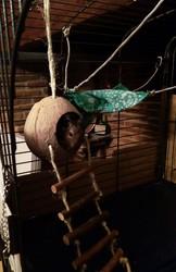 Skyy, rongeur Octodon