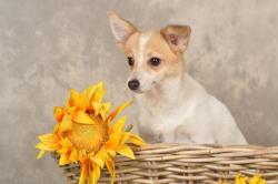 Slach, chien Jack Russell Terrier