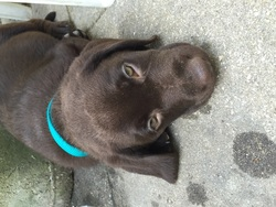 Slash, chien Labrador Retriever
