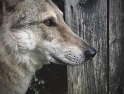 Slevin, chien Chien-loup tchèque