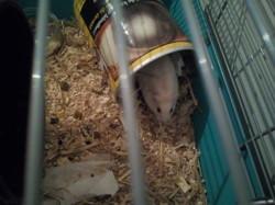 Slime, rongeur Hamster