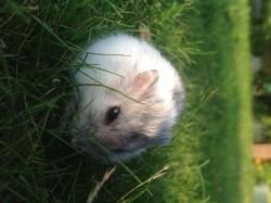 Slingquy, rongeur Hamster