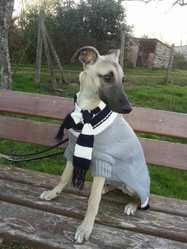 Sloughi, chien Whippet