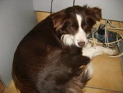 Gintao, chien Border Collie