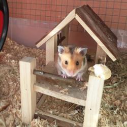Smarti, rongeur Hamster