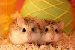 Smarties, rongeur Hamster