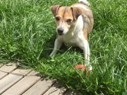 Smarties, chien Jack Russell Terrier