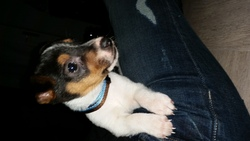 Smiley, chien Jack Russell Terrier