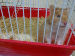Smitch, rongeur Hamster