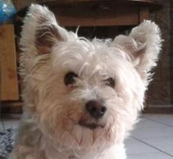 Smity, chien Bichon maltais