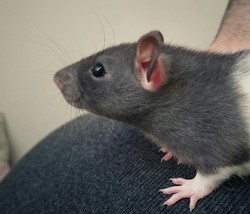 Smocky, rongeur Rat