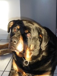 Smoky, chien Rottweiler