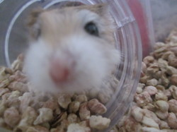 Smouthiesauparadis, rongeur Hamster
