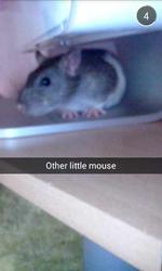 Smoutie, rongeur Rat