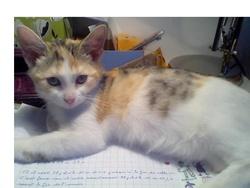 Méli, chat Persan