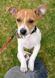 Sms, chien Jack Russell Terrier