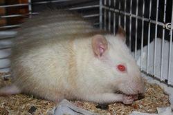 Snake, rongeur Rat