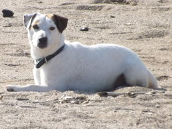 Snap , chien Jack Russell Terrier