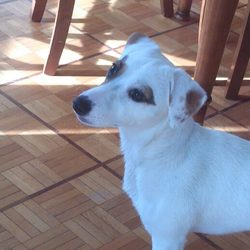 Snappy, chien Jack Russell Terrier