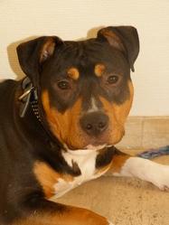 Snatch, chien American Staffordshire Terrier