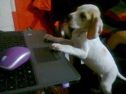 Sniper, chien Braque allemand à poil court
