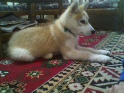 Sniper, chien Husky sibérien