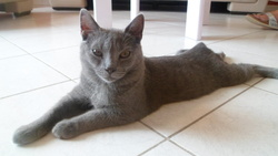 Sniper, chat Chartreux
