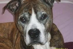 Sniper, chien American Staffordshire Terrier