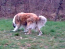 Skipper, chien Colley à poil long