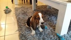Snippy, chien Basset Hound
