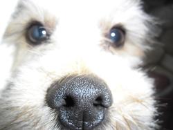 Snnop, chien Lhassa Apso